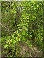 TF0820 : Hawthorn Buds by Bob Harvey