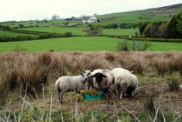 Sheep among the rushes, Legnabraid