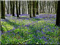 SU2567 : Bluebells and beeches, Cobham Frith, Savernake Forest, Wiltshire by Brian Robert Marshall