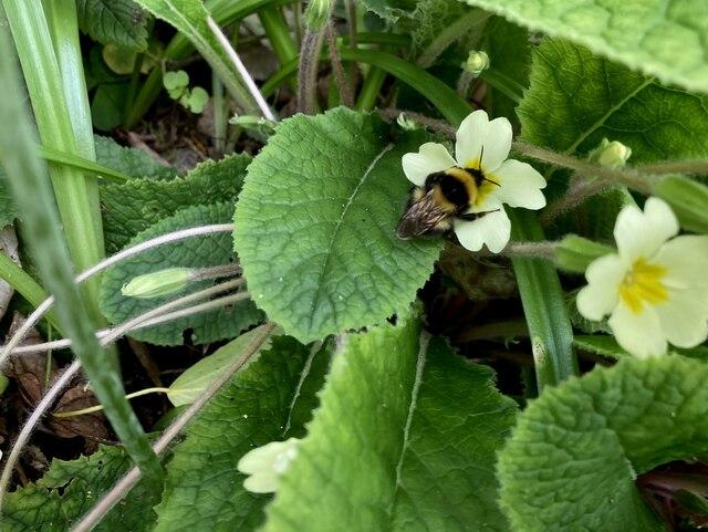 Bumblebee and primroses, Toms Island