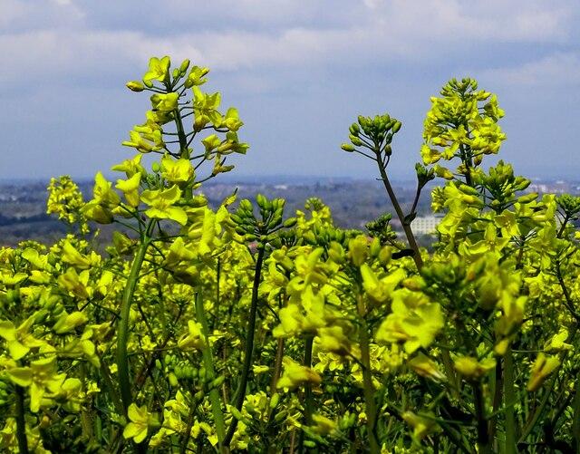 Oilseed rape flowers, The Ridgeway, Liddington