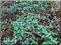 TF0820 : Honeysuckle carpet by Bob Harvey