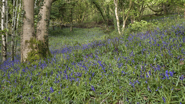 Bluebells, Cave Hill