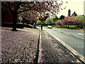 H4572 : Fallen cherry tree petals, Dublin Road, Omagh by Kenneth  Allen