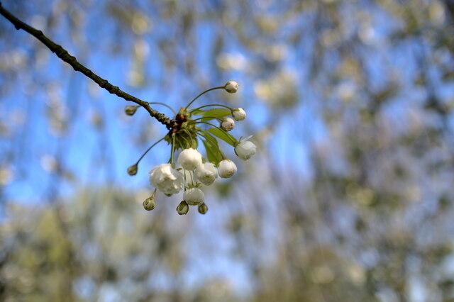 Emerging Blossom