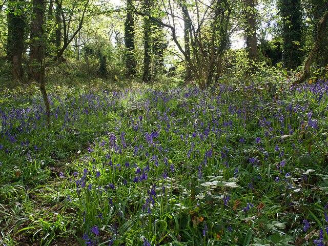 Bluebells in Hutcliffe Wood