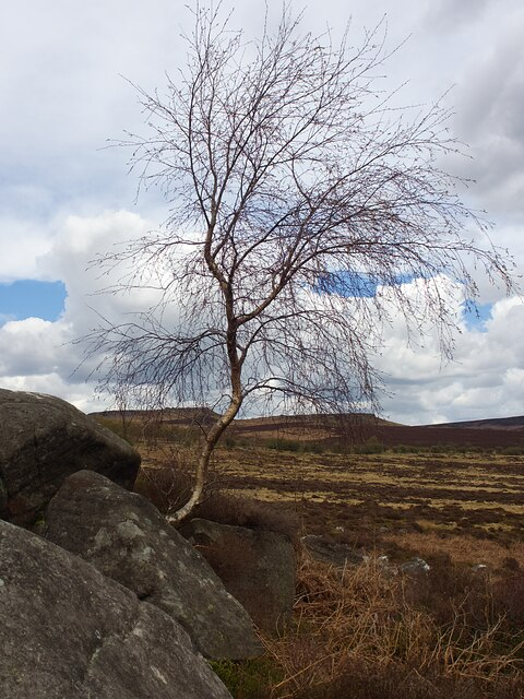 Solitary tree in Lawrence Field