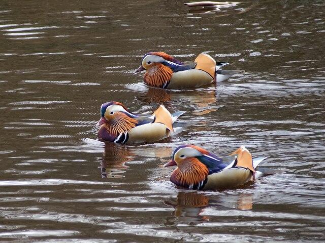 A trio of Mandarin ducks