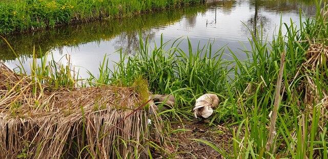 Ducks at Wildlife Pond in Oakwood Park, London N14