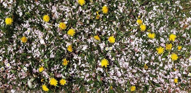 Dandelions and petals, London N14