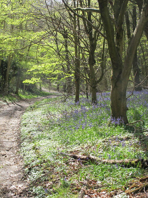 Bluebells and young beech leaves, near Christmas Common