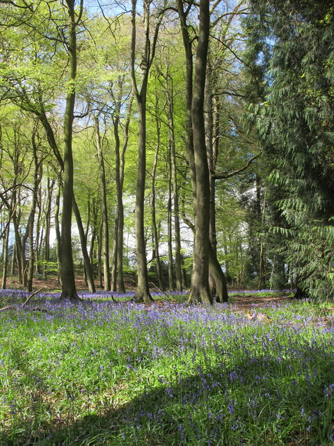 Beechwood with bluebells, Longhill Hanging Wood, near Stonor
