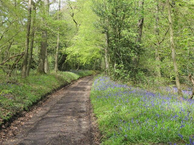 Hollandridge Lane with beeches and bluebells