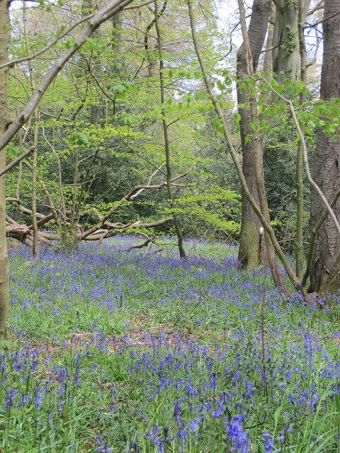 Bluebells in beechwood by Hollandridge Lane