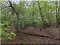 TF0820 : Hawthorn in the Hazels by Bob Harvey