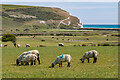 TV5198 : Sheep grazing by Ian Capper