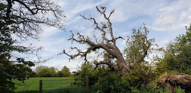 Oak Tree Clinging to Life, Trent Park