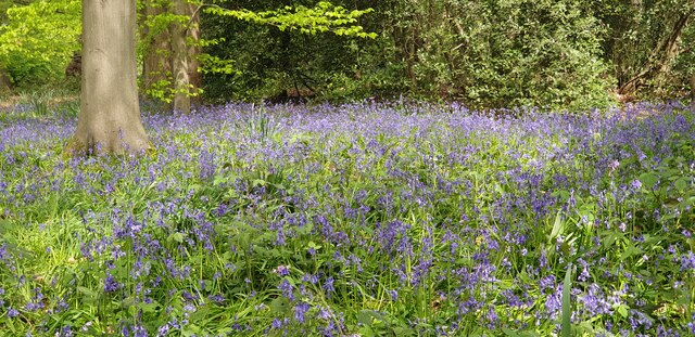 Bluebells in Trent Park