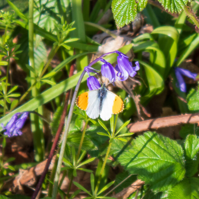 Orange-Tip (Anthocharis cardamines) on a bluebell, Hockley Woods