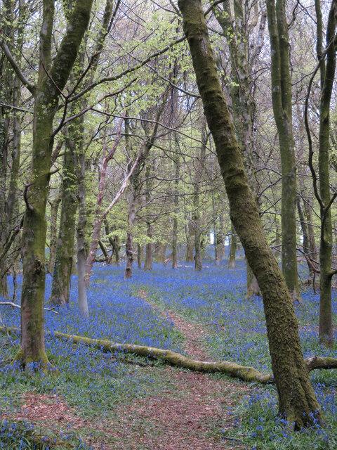 Bluebells in Coed y Wenallt