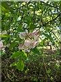 TF0820 : Blossom on the apple tree by Bob Harvey