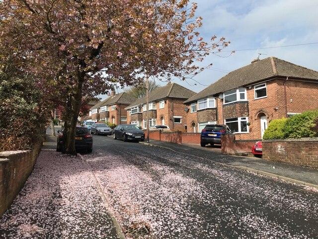 Fallen cherry blossom - Lathkil Road