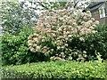 TQ2688 : Garden bushes by Lyttelton Road, Hampstead Garden Suburb by David Howard