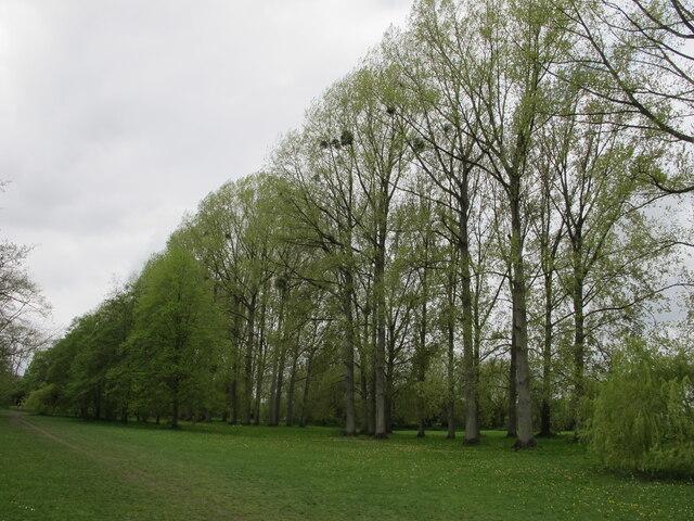 Poplars by Thames path near Marlow Rugby Club