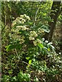 TF0820 : Sorbus aucuparia by Bob Harvey