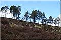 NJ3234 : Scots Pines by Anne Burgess