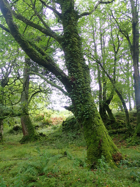 Moss covered trees on the woodland walk to Torosay