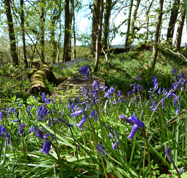 Bluebells by the Barony Hill Path
