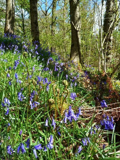 A bank of bluebells