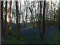 SP3976 : Bluebells at dusk in Brandon Wood by Alan Paxton