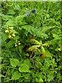 TF0820 : Oak seedling by Bob Harvey