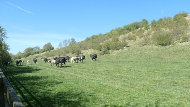 Cattle in Goodmanham Dale