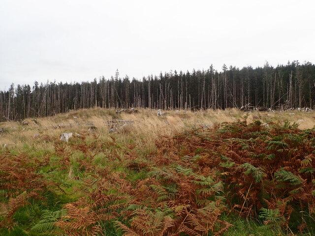 Pine forest east of Dervaig