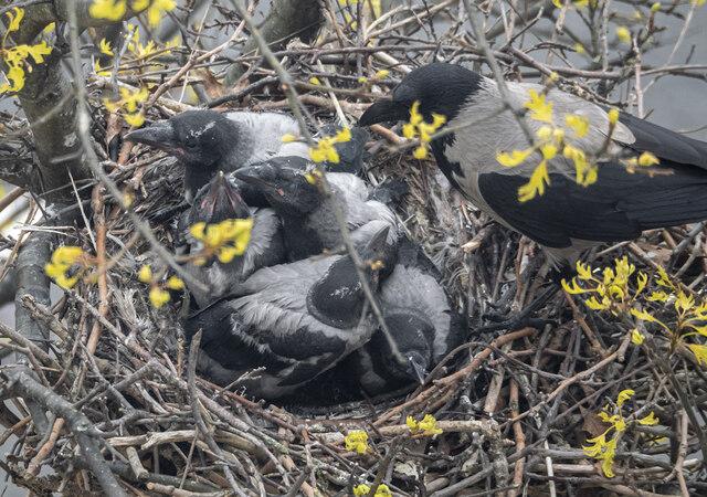 Nest, Belfast