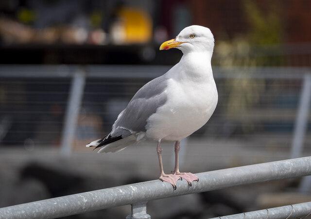 Herring gull, Belfast