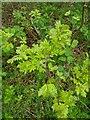 TF0720 : Leaves on the tiny oak by Bob Harvey