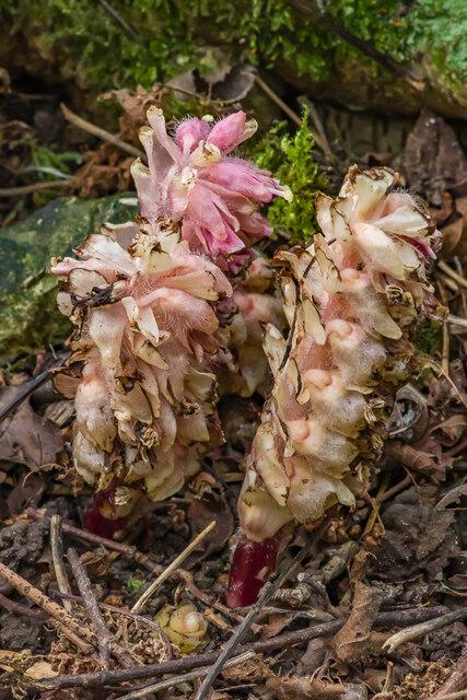 Toothwort (Lathraea squamaria)