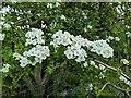 TF0820 : So much blossom by Bob Harvey