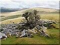 SN7319 : Tree amid the rocks by Rob Farrow