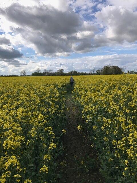 Path through rape field