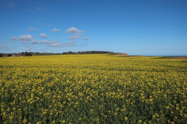 Oilseed rape field near Sidestrand