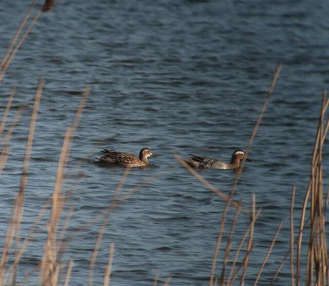 Pair of Garganey, Fen Drayton Lakes