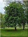 TF0820 : Horse Chestnut in bloom by Bob Harvey