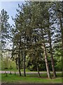 TF0720 : Pines at the car park by Bob Harvey