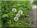 TF0820 : Dandelion clocks by Bob Harvey