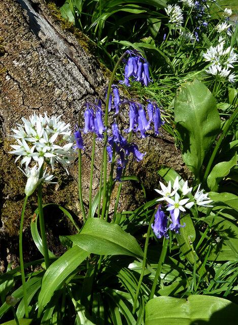 Garlic and bluebells at Culzean Country Park
